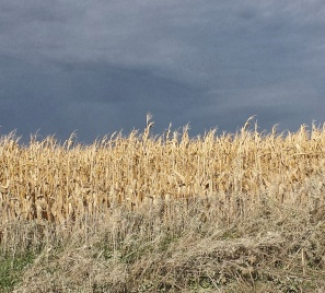 Iowa Cornfields.