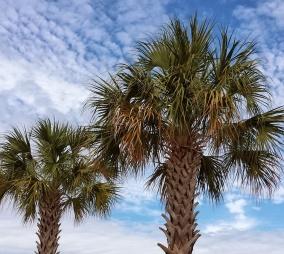 Palm trees and beautiful blue Florida sky
